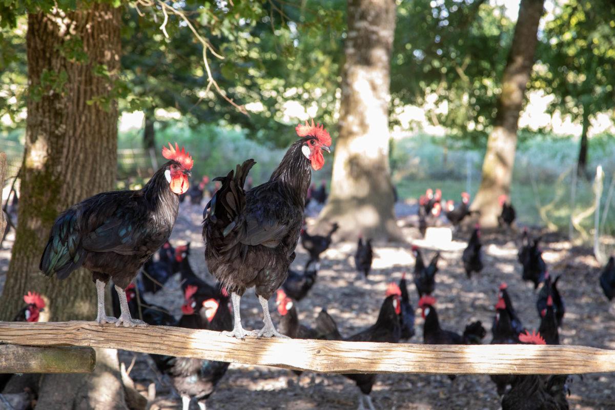 Elevage de poulet de Barbezieux en plein air